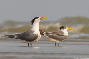Greater and Lesser Crested Tern